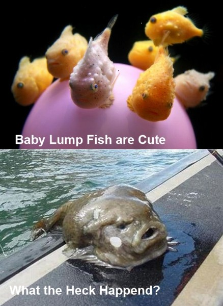Lump Fish