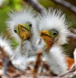 Baby Birds Egrets