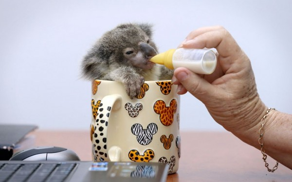 Baby Koala in a Teacup.  Teacup.