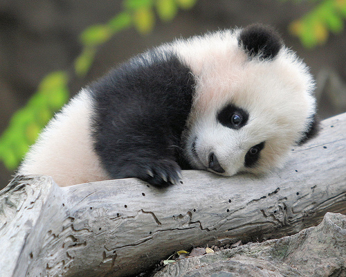 Baby Panda in a Tree