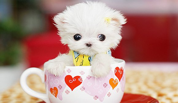Tea cup puppy photo