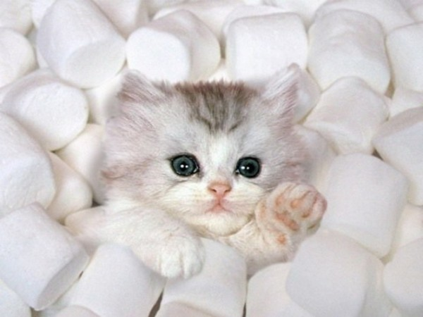 Cutest Kitten in Marshmallows