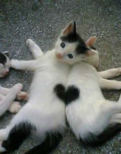 Cute kittens make a heart
